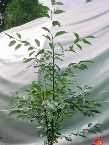 North Star Cherry - This cherry is on the sour side and is great in pies. Grows to be 8-10' tall, blooms early May, ripens late June, zone 4-8