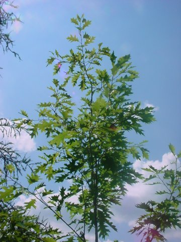 Northern Red Oak - The Northern Red Oak is the fastest growing oak. The leaves hold on into the winter. Dark green foliage in summer changing to red-brown in fall. Height 60-80' Spread 50' Zone 4-8