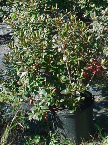 P.J.M. Rhododendron - The P.J.M. Rhododendron is very hardy. Rose pink flowers bloom in the spring. Green foliage that turns purple in the fall. Height 4-5' Spread 3-5'