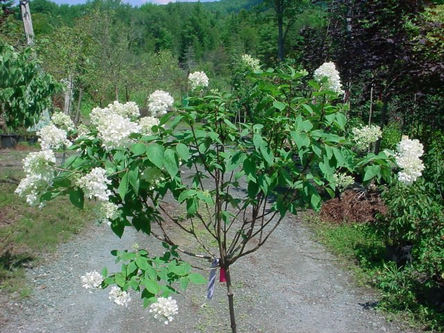 PeeGee Tree Form - Large white flowers are great for arrangements and turn pink-bronze in the fall. Height 8' Spread 8-10' Zone 4-8