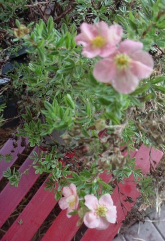 Potentilla-Pink Beauty - Pink flowers and bright green foliage. Height 2' Spread 2' Zone 2-7