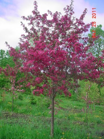"""Purple Prince - The Purple Prince Crabapple matures very fast as a young tree and has purple leaves. Height 20' Spread 20' Shape Rounded Flower Single, red Fruit Maroon, 3/8"""" Zone 4-7"""
