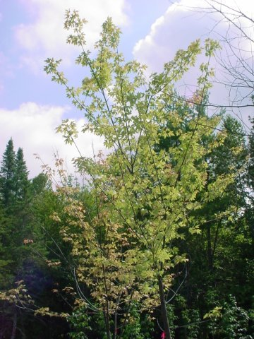 Red Maple - This maple has red flowers in the spring with great fall color. It grows 50' tall and 35-40' wide. Zone 4-6