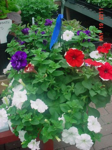 Red, White, & blue Petunia Basket