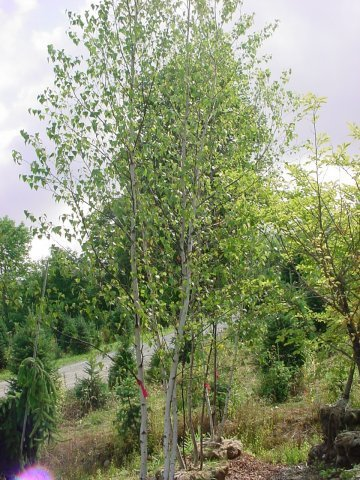 River Birch Cluster - Leaves turn yellow in the fall and the bark turns reddish-brown in the winter. It grows about 40-50' tall with a spread of 30-40'. Zone 4-8
