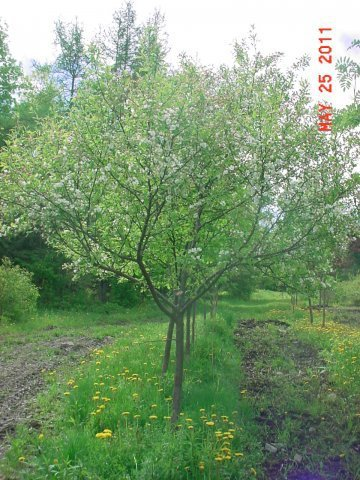 """Snow Drift - This Crab has deep texture. It is a very low maintnance Crabapple. Height 15-20' Spread 20-25' Shape Symmetrical Flower Single, pink buds with white flower Fruit Orange, red, 3/8"""" Zone 3-7"""