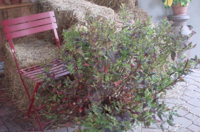 Spirea-Anthony Waterer - Rose-pink flowers that bloom in early summer. Height 2-3' Spread 4-5' Zone 4-8