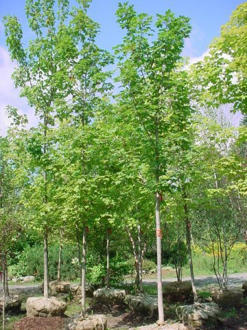 Sugar Maple - The Sugar Maple is a great shade tree with beautiful fall color of orange and red. It grows to be 50-75' tall Zone 3-5