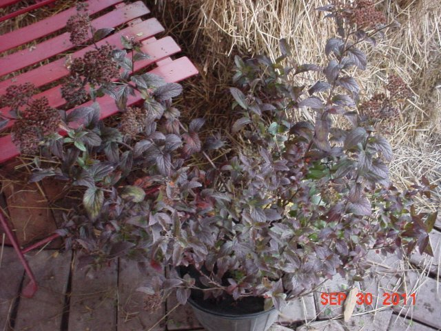 Superstar Spirea - Deep green foliage with red new growth. Pink flowers bloom all summer long. Height 2-3' Spread 3-4' Zone 3-8. The Superstar Spirea is beautiful! The new growth is very rich in color.