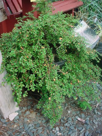 """Tom Thumb Creeping Cotoneaster - Tiny, shiny, dark green leaves with red fruit in the fall. Height 8-12"""" Spread 4-6' Zone 4-9"""