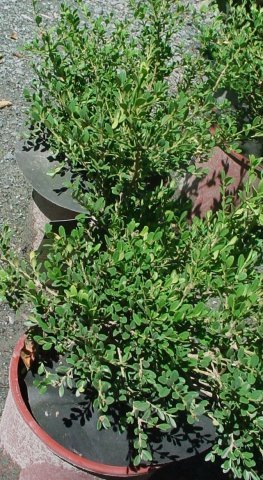 Wintergreen Littleleaf Boxwood - Bright green foliage with copper fall foliage. Great for low hedge. Height 2' Spread 2-3' Zone 4-9
