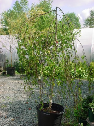 Youngi Birch - The Youngi Birch grows to be 8-10' tall and 15' wide. It has yellow flowers in the spring with green foliage throughout the summer.
