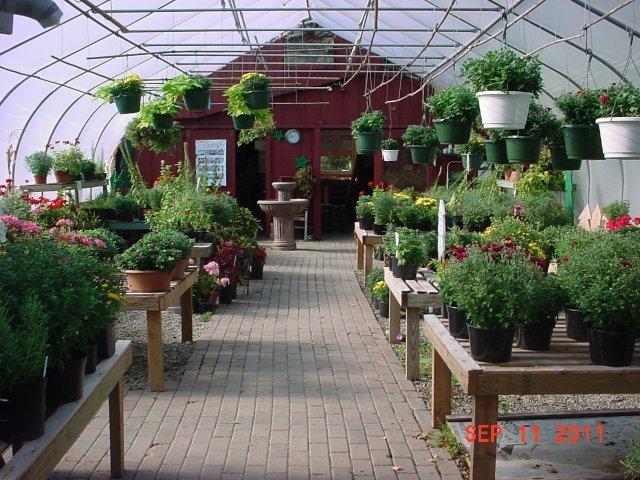 Greenhouse #1-Mums