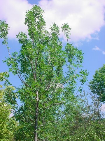 Penn Patmore - Green foliage that grows 50-60' tall with a 35' spread. Yellow fall foliage. Zone 2-7