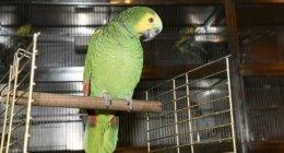 pappagalli, uccelli, voliere