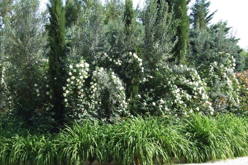 dei cespugli con i fiori bianchi