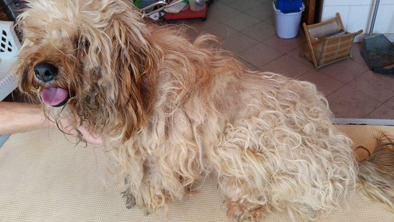 Lo yorkshire terrier alla toelettatura a Floridia Siracusa