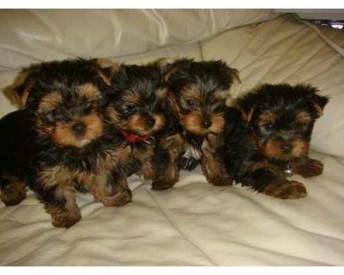 Cuccioli di cane a Floridia Siracusa