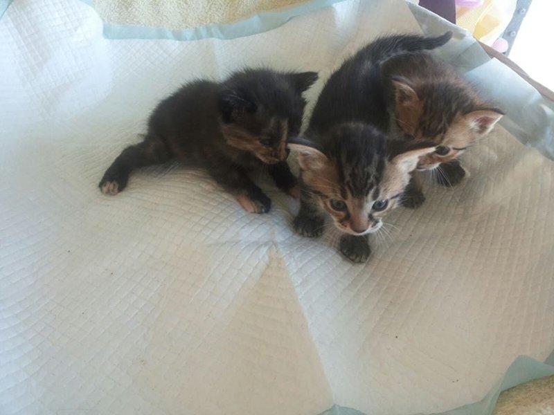 Cuccioli di gatto a Floridia Siracusa