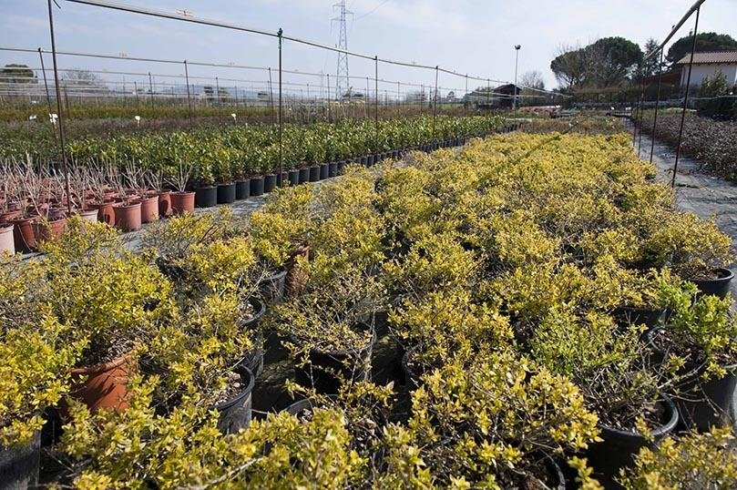 Arbusti per aiuole