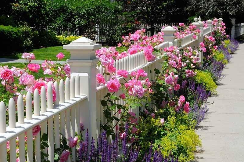 Rose per recinzioni