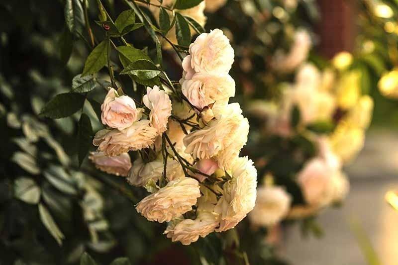 Rose classiche
