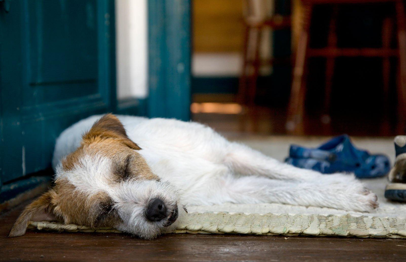 A dog sleeping on a rug