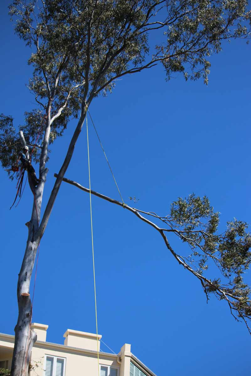tree with a cut limb being lowered