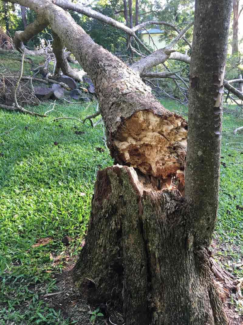 tree that has broken an fallen over