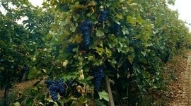 uve vino rosso