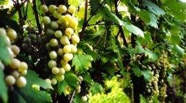 uve vino bianco