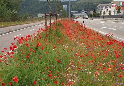 dei fiori rossi in un prato vicino a una strada