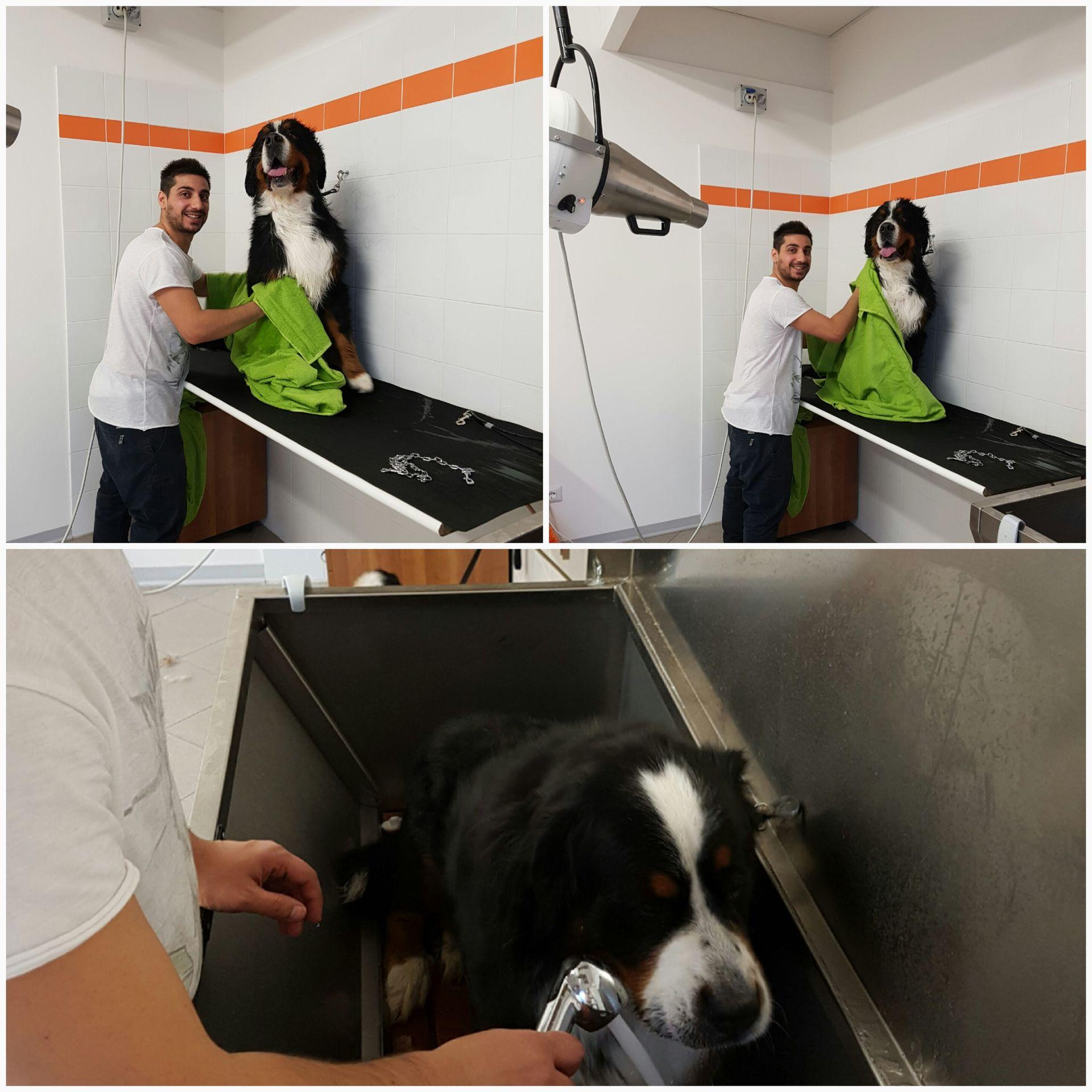 veterinario mentre lava un cane, varie fasi