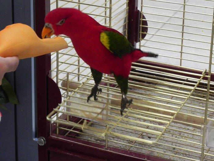 papagallo rosso che mangia