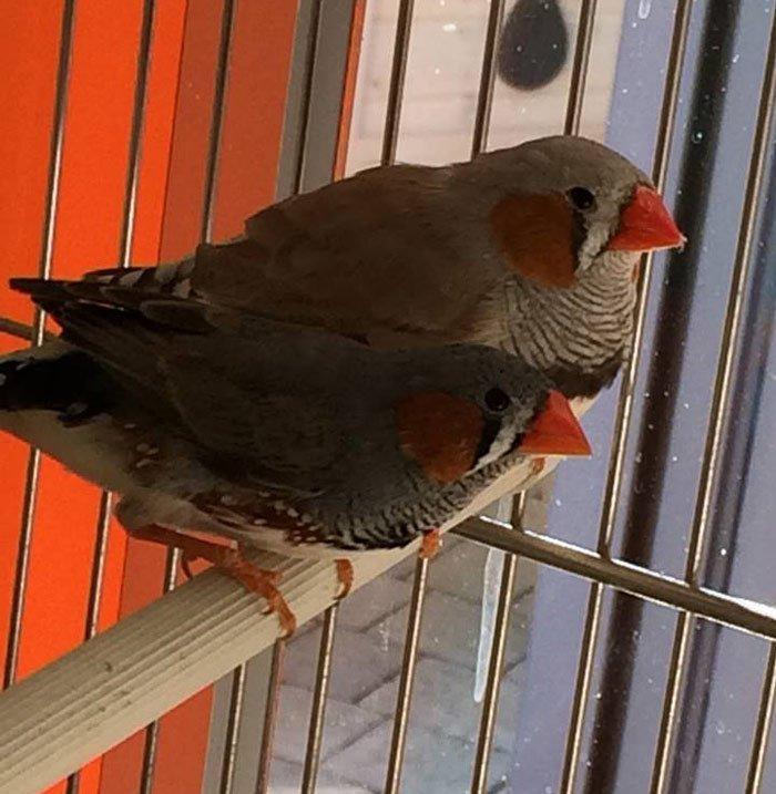 uccellino dal becco rosso