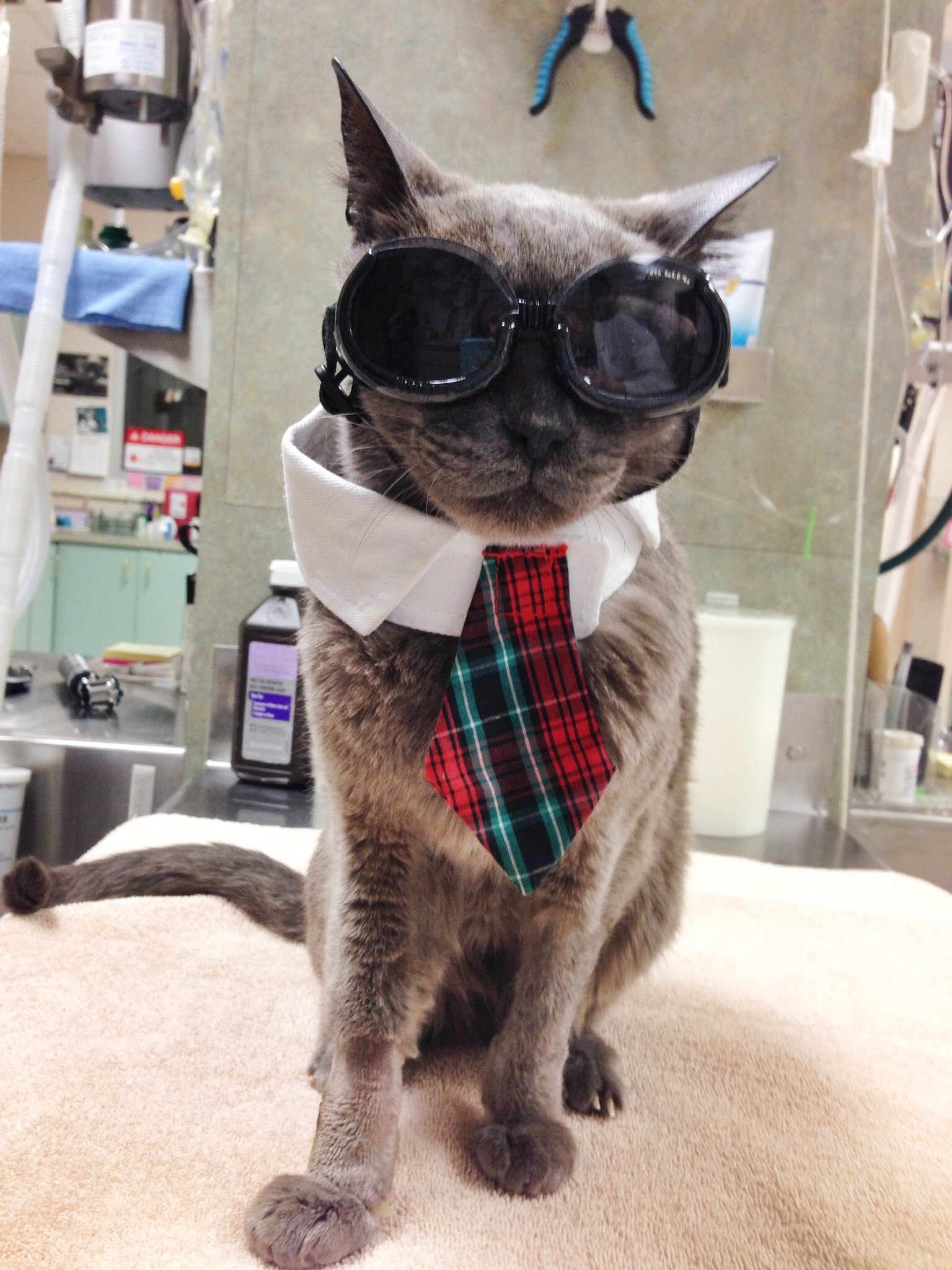 Cat ready for a day at the office - the cat clinic of greensboro