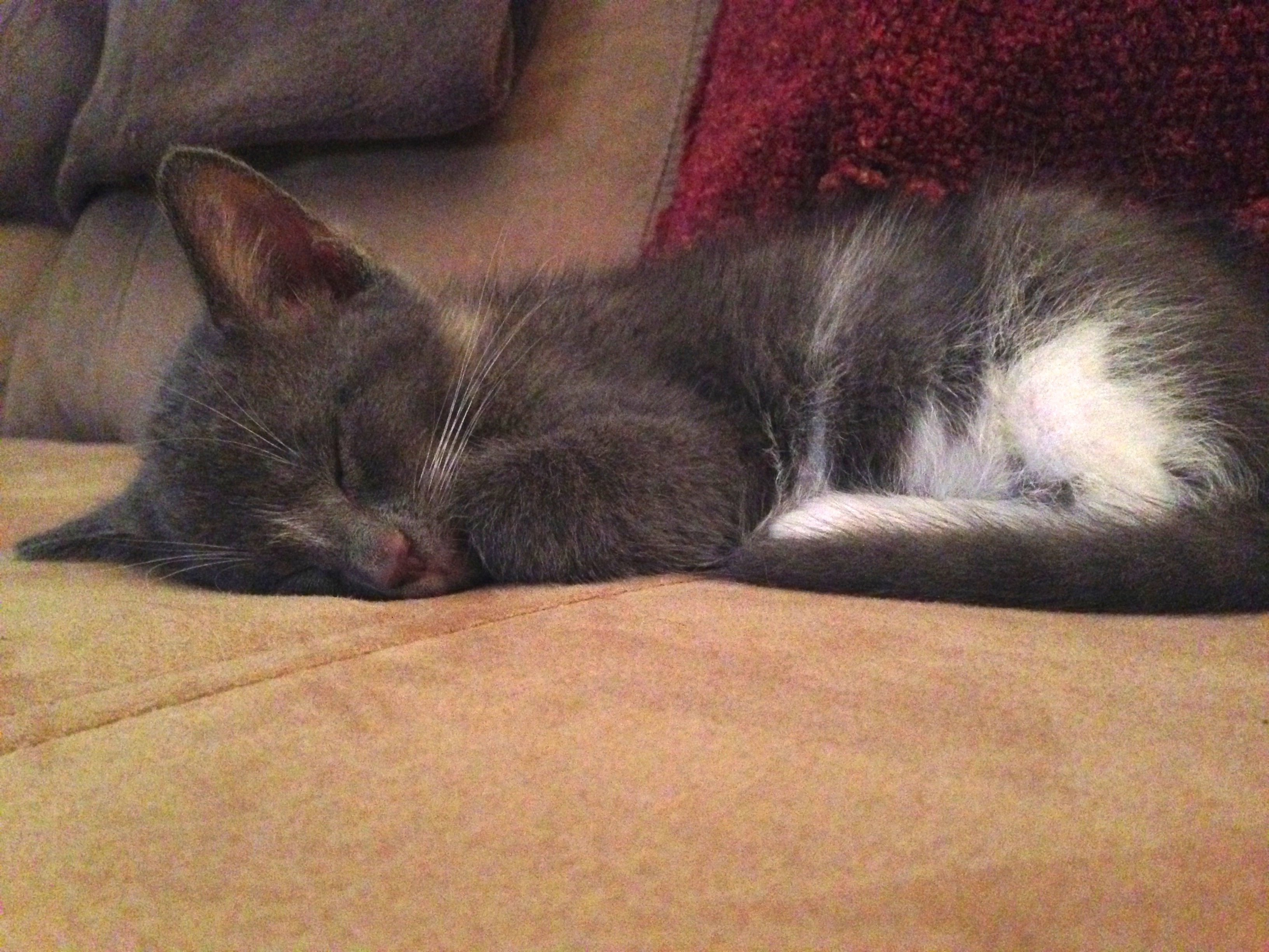 Sleeping Kitty At The Cat Clinic Of Greensboro
