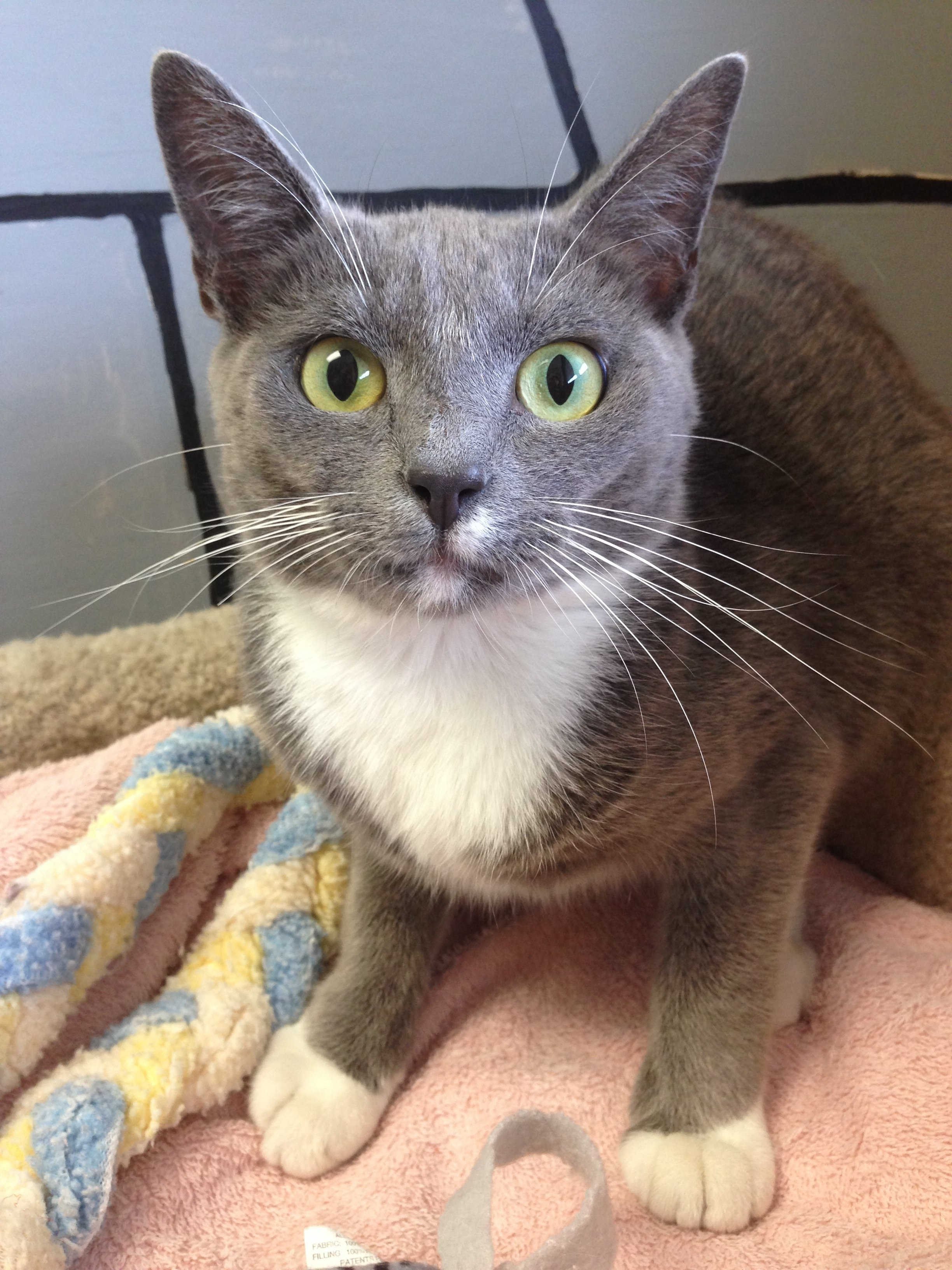 Gray and White cat - the cat clinic of greensboro