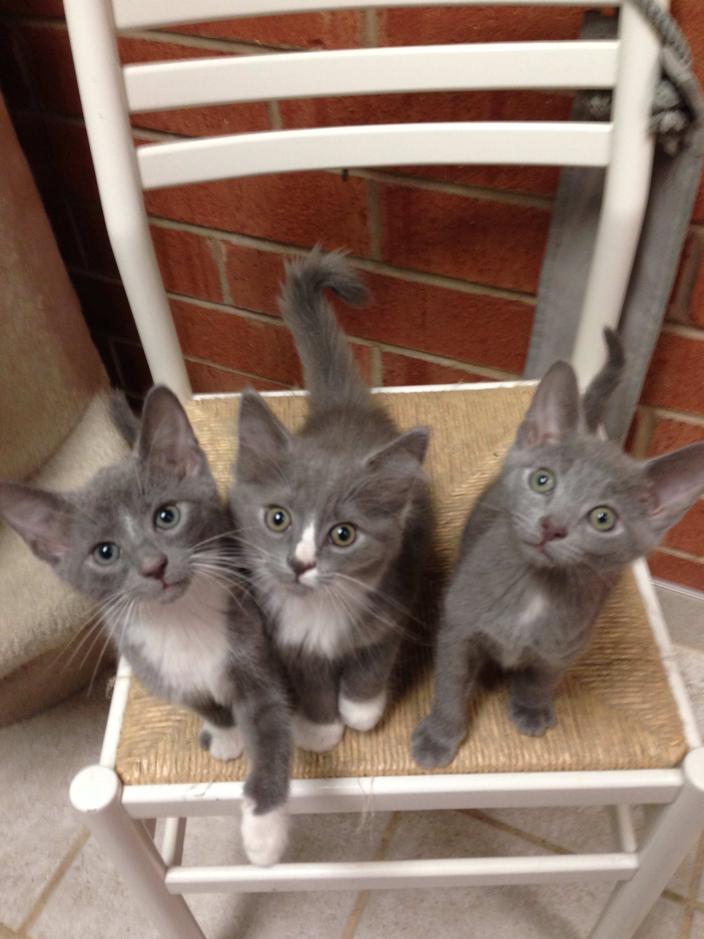 3 Gray Kittens on a chair - The Cat Clinic Of Greensboro