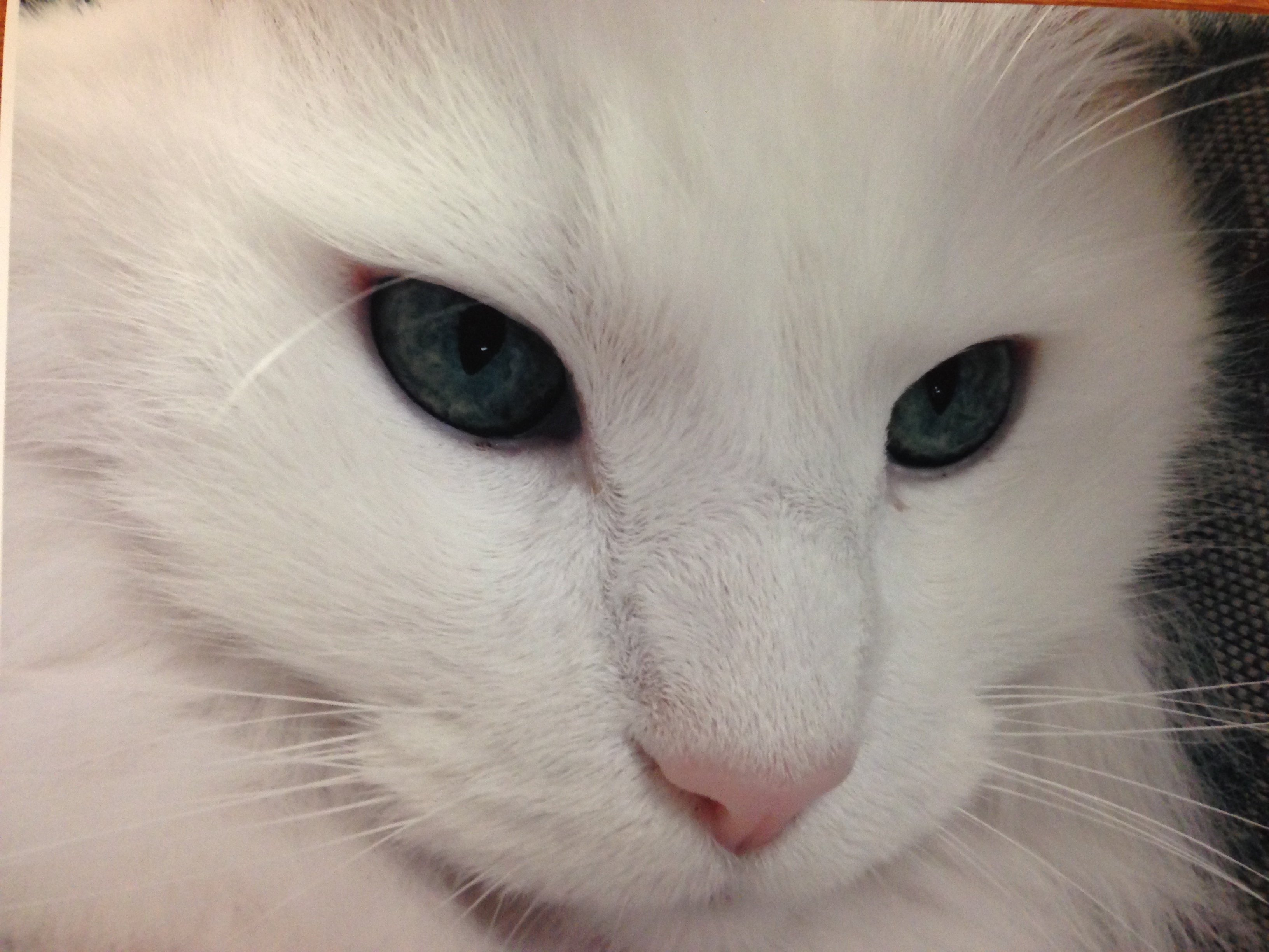 White Cat At The Cat Clinic Of Greensboro