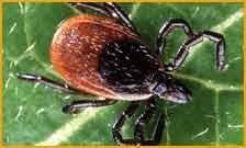 Infestazione di zecche Green Mouse Pest Control