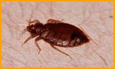 Infestazione cimici dei letti Green Mouse Pest Control
