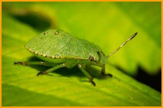 Disinfestazione cimici Green Mouse Pest Control