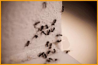 Disinfestazione formiche Green Mouse Pest Control