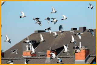 Dissuasione volatili Green Mouse Pest Control