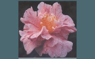 YUBA SHIBORI (GIAPPONE)