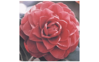 CAMELIA JAPONICA ROGER HALL