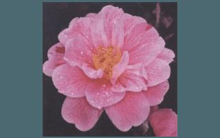 FUKURIN IKKYU (GIAPPONE 1859)