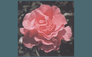 JUBILATION (NUOVA ZELANDA 1978, L.E.JURY)