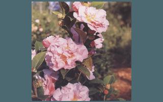 NONIE HAYDON (NUOVA ZELANDA 1985,N.G.HAYDON)